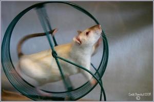 rat-on-wheel
