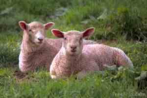 sheep__belching
